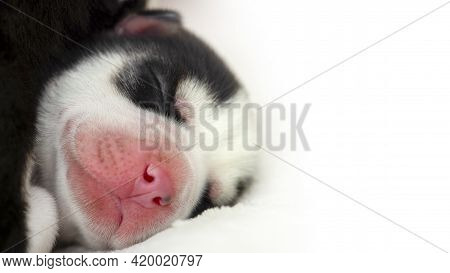 Close-up Of The Muzzle Of A Sleeping Siberian Husky Puppy. Sleeping Puppy On A White Bedspread.