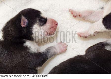 Sleeping Newborn Siberian Husky Puppies. Newborn Sleeping Puppy.
