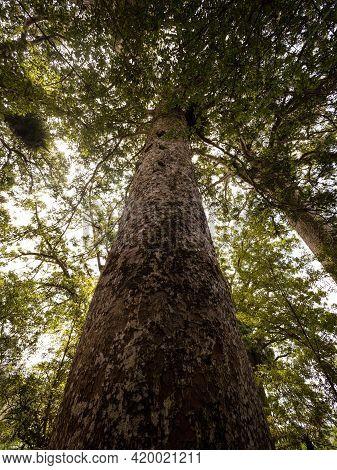 Panorama View Of Endemic Native Tree Agathis Australis On Waiau Kauri Grove Track At 309 Road Coroma