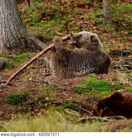 Samurai Bear, Playful Bear In The Nature Park, Rehabilitation Center For Bears Synevirska Polyana, P