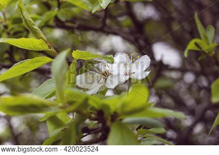 Small White Flower On A Branch With Green Leaves Close Up