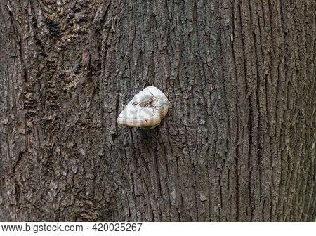 Tree Bark With Tinder Fungus.diseases Of Deciduous Trees