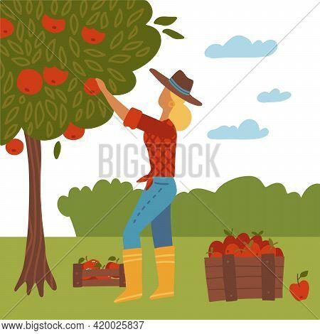 Girl Gathering Autumn Harvest. Woman Standing And Picking Apples Concept. Female Gardener, Farmer Ca