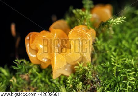 Tremella Mesenterica Mushroom Or Yellow Brain, Golden Jelly Fungus, Witches Butter Among Moss, Super