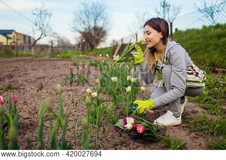 Gardener Cuts Fresh Tulips Off With Pruner, Puts Them In Basket And Smells Blooms In Spring Garden.