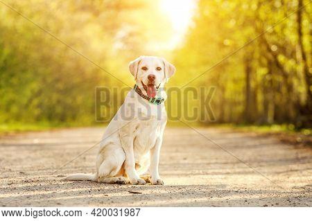 Portrait Of Happy Purebred Labrador Retriever Dog Outdoors In A Park.