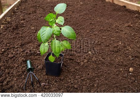 Young Bell Pepper Sprout In A Pot With Garden Tools On A Background Of Soil In The Vegetable Garden.