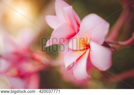 Bright Colorful Pink Plumeria In Natural Light As Backdrop. Soft-focus Shooting. Frangipani Or Plume