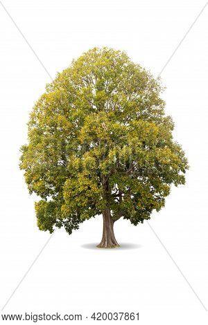 Autumn Tree Isolated On White Background For Design. Irvingia Malayana Oliv ( Irvingiaceae ). Decidu