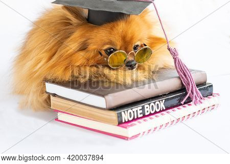 Graduated Puppy Dog Pomeranian In Bachelor Hat Lying On A White Background Making A Boring And Tired
