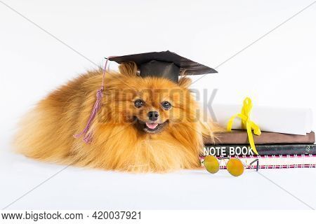 Graduated Puppy Dog Pomeranian In Bachelor Hat Lying On A White Background Looks Camera With Happy,