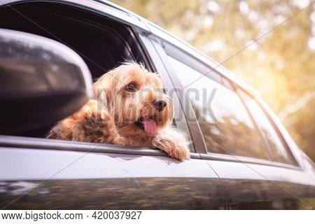 Cute Dog Sit In Car On Front Seat. Portrait Hairy Adorable Cockapoo Breeding Mixed (american Cocker