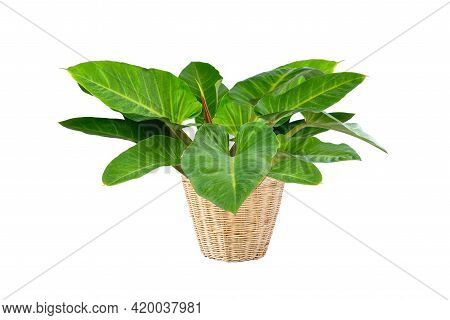 Philodendron (philodendron Sp. 'ruaysap') Is One Of Three Subgenera Within The Genus Philodendron. O
