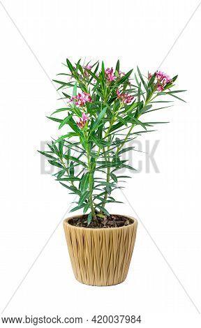 Oleander Or Sweet Oleander Well Nkow As Rose Bay (nerium Oleander L.). Pink Flower Blooming In Black