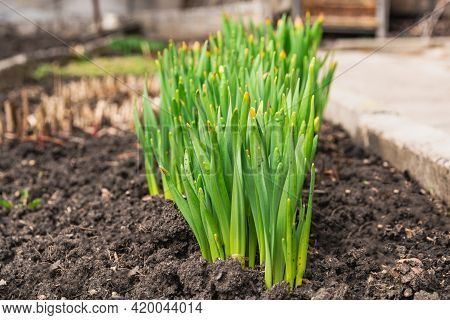 A Group Of Green Stems Of Daffodils Without Flowers Growing In The Garden. Spring Daffodils.