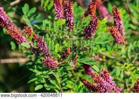 Amorpha Fruticosa - Purple Flowering Plant, Known By Several Names - Desert False Indigo, False Indi