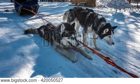 Black And White Siberian Huskies In A Harness Rest After A Run. The Mouths Are Open, The Fur Is Dish