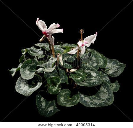Flowering White Cyclamen On The Black Background
