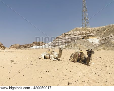 Mobile Photo Of Two Camels Is Laying In Sinai Desert, Dahab. Arabian Camel Dromedary Laying On The G