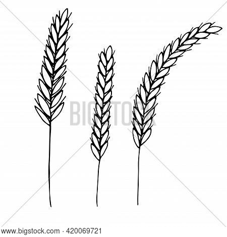 Wheat Spikelets Set Vector Illustration Hand Drawn Sketch