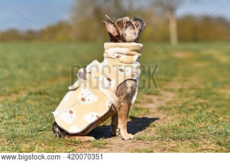 Sitting Merle Colored French Bulldog Dogs Wearing Bathrobe Made From Fleece Fabric To Dry Faster Aft