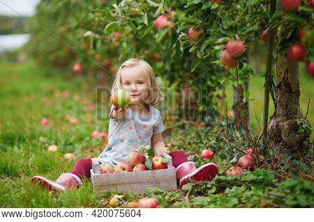 Adorable Toddler Girl Picking Red Ripe Organic Apples In Orchard Or On Farm On A Fall Day. Outdoor A