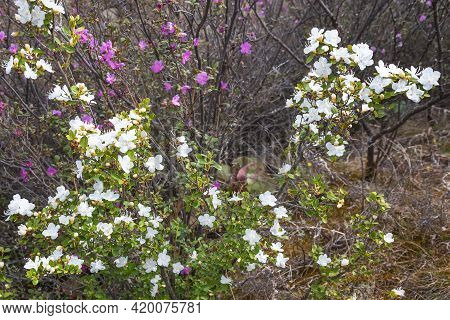 Beautiful Delicate White Flowers Of A Rare Species Of Siberian Wild Rosemary (rhododendron Ledebour)