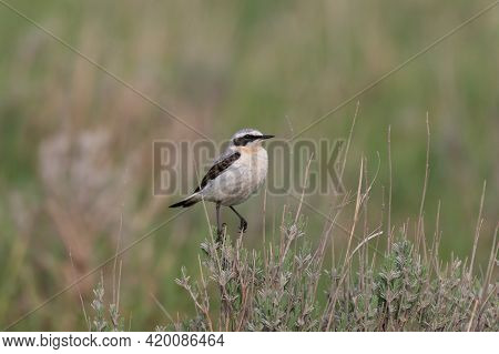 Northern Wheatear - Oenanthe Oenanthe Male. In The Wild.