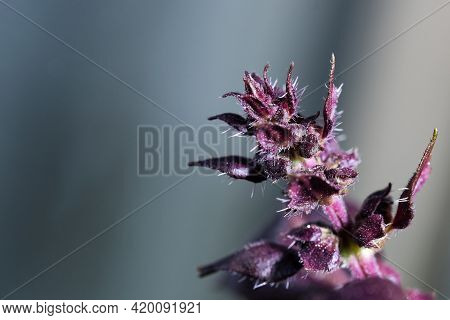 Fresh Fragrant Leaves Of Spicy Basil Herb Close-up Macro Photo