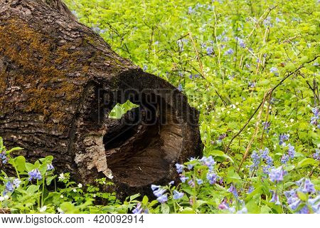 Blue Bell Wildflowers By A Hollow Log