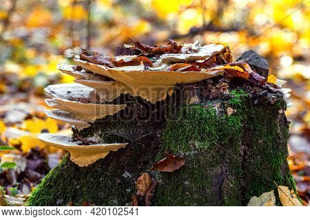 Old Mossy Stump With Poisonous Mushrooms. Inedible Mushrooms In The Woods On A Stump