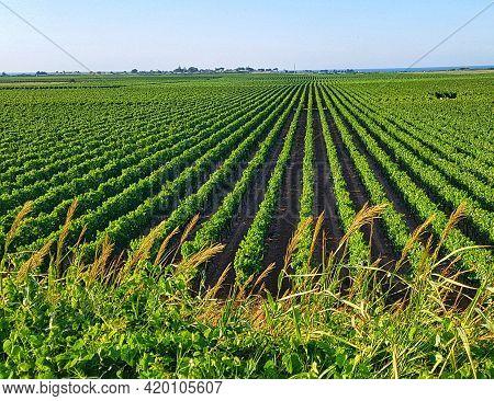 Vineyard In Spring In South Italy, Puglia