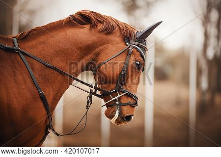 Portrait Of A Sorrel Horse With A Bridle On Its Muzzle And A Trimmed Mane, Galloping On A Cloudy Aut