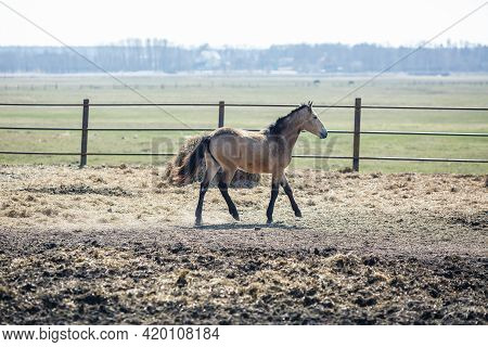 Beautiful Brown Horse With A Black Mane Walks Behind The Fence