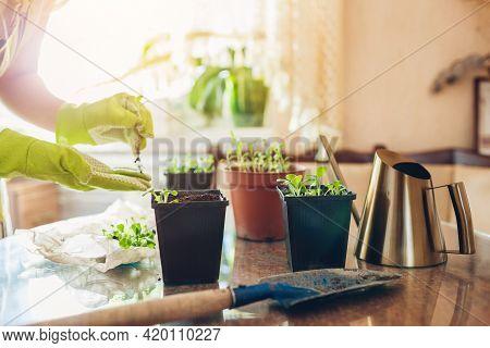 Gardener Planting Foxglove Seedlings In Small Containers At Home. Spring Seasonal Gardening Work. Gr