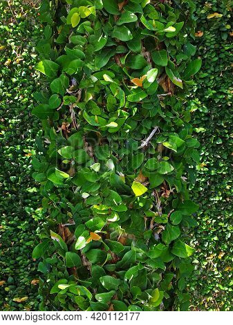 Green Ivy. Background Of Green Climbing Plants In A Bush. Tree Entwined With Common Ivy. (hedera Hel