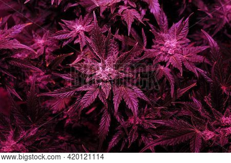 Cannabis Bush Close-up In Grow Box With Led Phyto Lamp. Pink Neon Grow Light. Micro Growing.