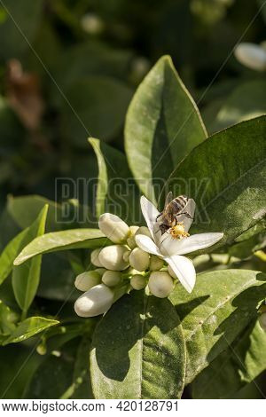 Branches Of A Beautiful, Delicate Orange Tree Flowers And Bee Collect Nectar Close-up On A Sunny, Sp
