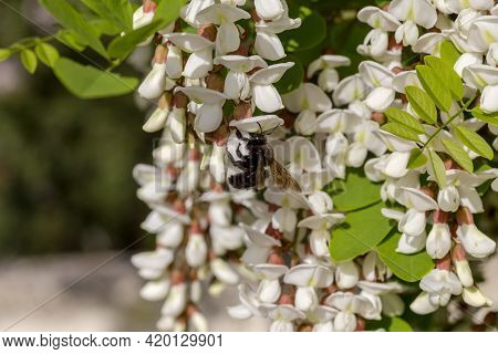 Branches Of A Beautiful, Delicate Acacia Tree With White Clusters (robinia Pseudoacacia) And Big Car