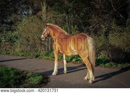 Golden Horse In The Golden Sunset Hour, Cronensteyn Polder, Leiden, Netherlands
