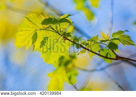 Acer Negundo Maple Or American (acer Negundo). Spring In Russia