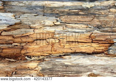 Rotten wood close up and its rotten splinters. Background or texture. Wood rot-original natural wood