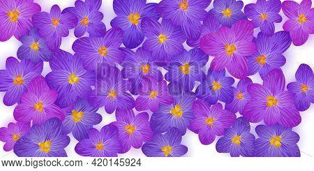 Crocus Spring Flowers Vector Illustration. Saffron Flowers Crocus Blossom Spring Vector. Easter Gree