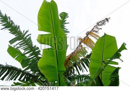 Banana Leaves - Close Up Detail Of Banana Leaves. Banana Leaves On White Background