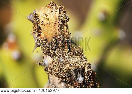 Termites Eating The Thorny Cactus Plant. Formosan Subterranean Termite.