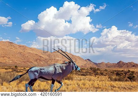 Wildebeest. Travel to Africa. The magical desert in Namibia. Hot day, lush clouds float in the blue sky. Magnificent desert animals