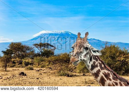 Giraffe and plain acacias in Amboseli park. The famous snow-capped Mount Kilimanjaro. Magnificent wild animals of the African savannah. Travel to exotic Africa.