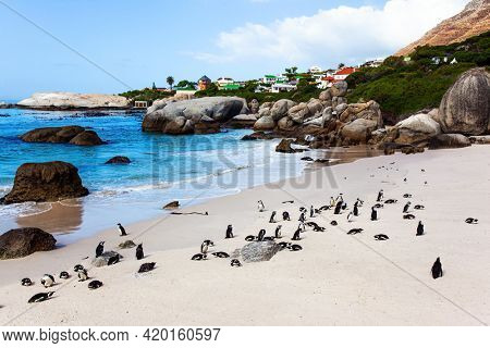 Travel to an Exotic Land. Scenic Penguin Conservation Area near Cape Town. South Africa. Spectacled penguin is a kind, trusting bird that lives on Penguin Beach