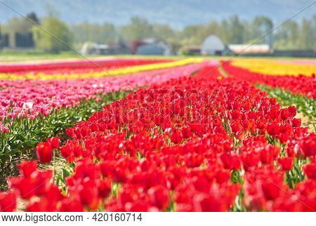 Tulip Blossoms And Agricultural Buildings. Tranquil Field Of Tulips In Front Of Farm Buildings In Th