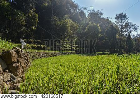 Green Wheat Plants Picture On Sunny Day In Winter